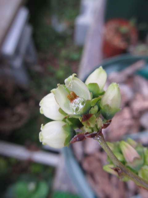 ブルーヘブンの花