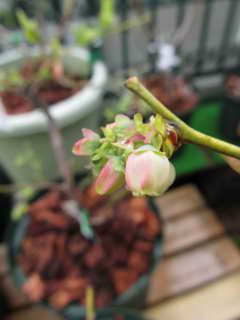 パトリオットの花