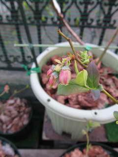 エチョータの花