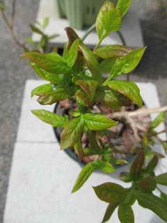 デュークの葉