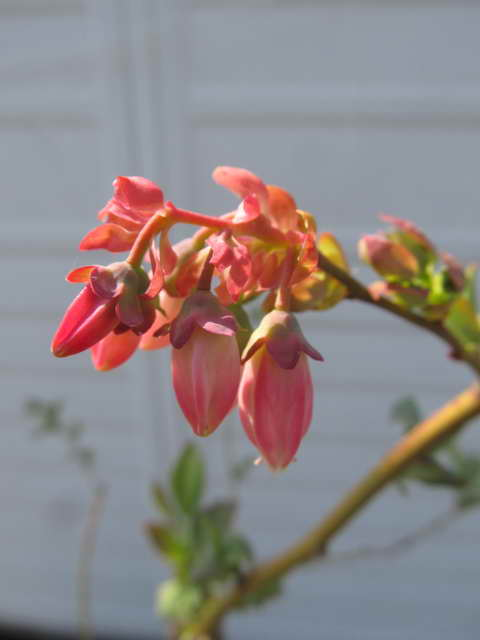 ブラッデンの花