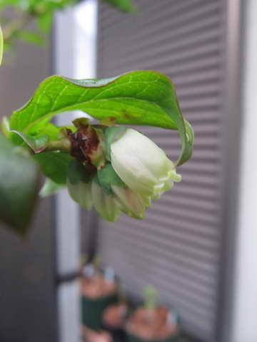 ブルーレイの花