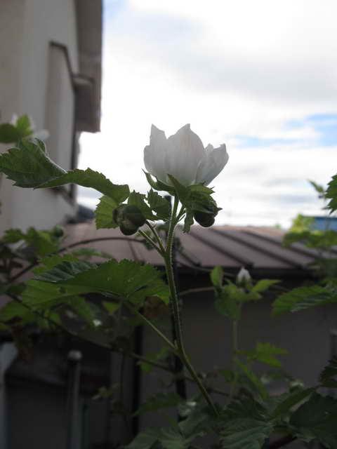 ブラックベリーの花