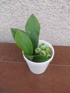 ブリジッタの幼果