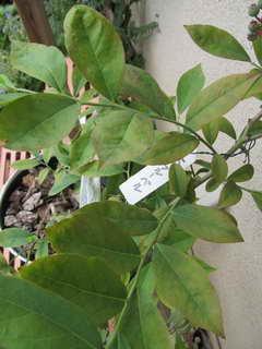 ブルーベルの葉