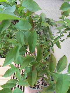 ブルーシャワーの葉