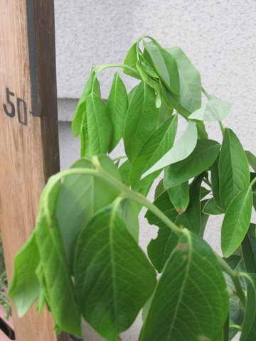 デニスブルーの葉