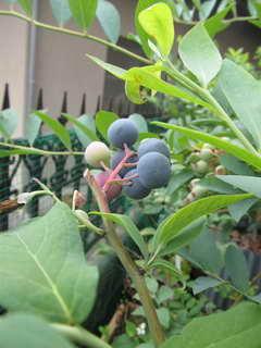 ベッキーブルーの果実