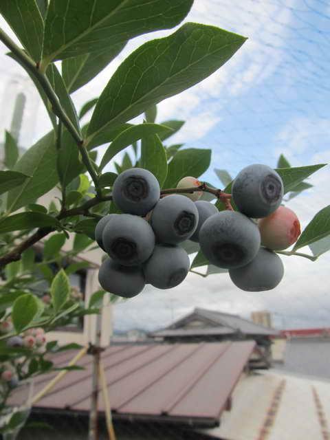 ティフブルーの果実