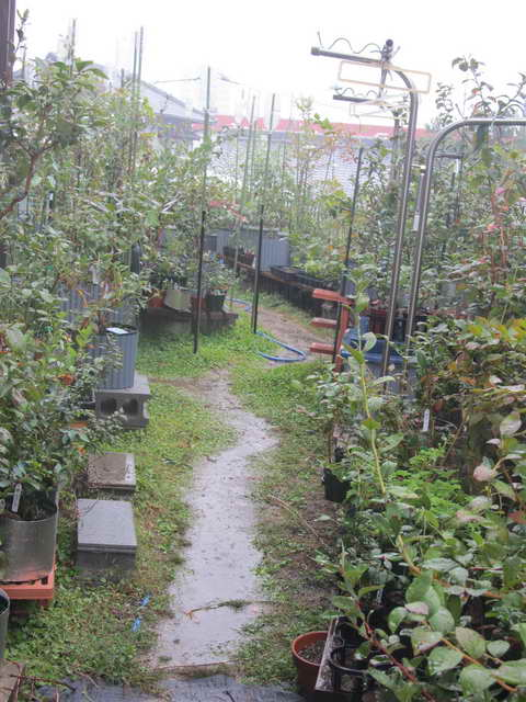 ブルーベリー園に待望の雨
