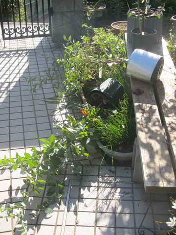ブルーベリーの鉢が倒れた