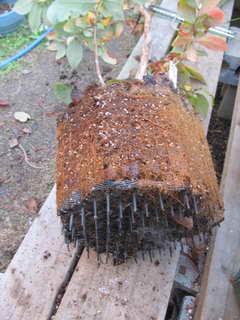 接木スパルタンの根