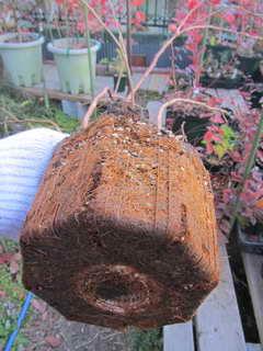 デニスブルーの根鉢
