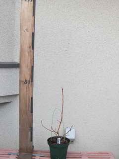 接木刺し、スパルタン/ノーザンハイブッシュ系ブルーベリー