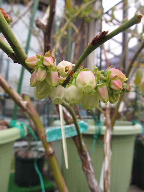 パトリオットの開花