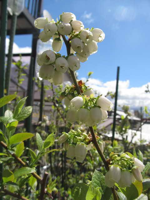 レカ/ノーザンハイブッシュ系ブルーベリーの花
