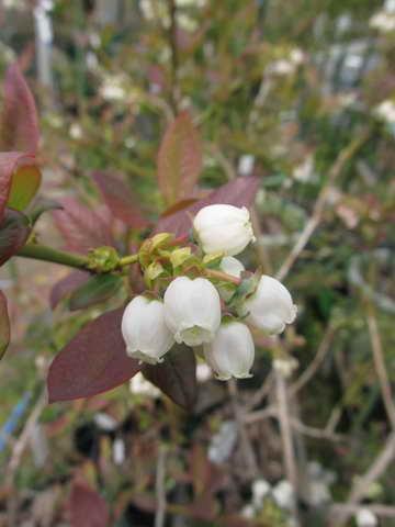 アーリーブルーの花
