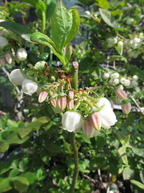 デューク/ノーザンハイブッシュ系ブルーベリーの花