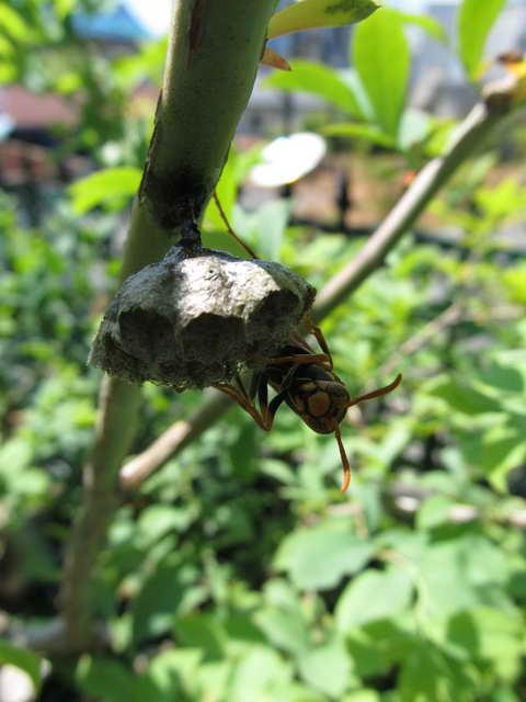 キアシナガバチの巣