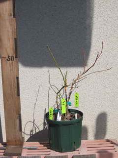 ブライトウェルに4本接木