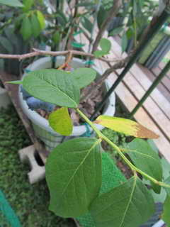 スパルタンの葉1